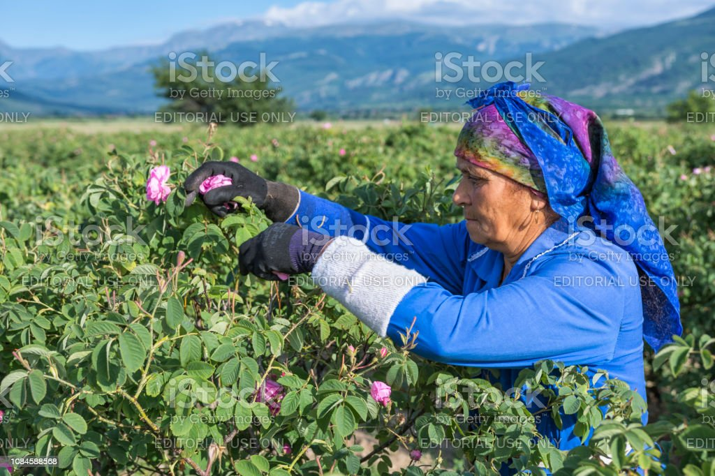 Woman picking fresh pink roses for perfumes and rose oil in garden on...