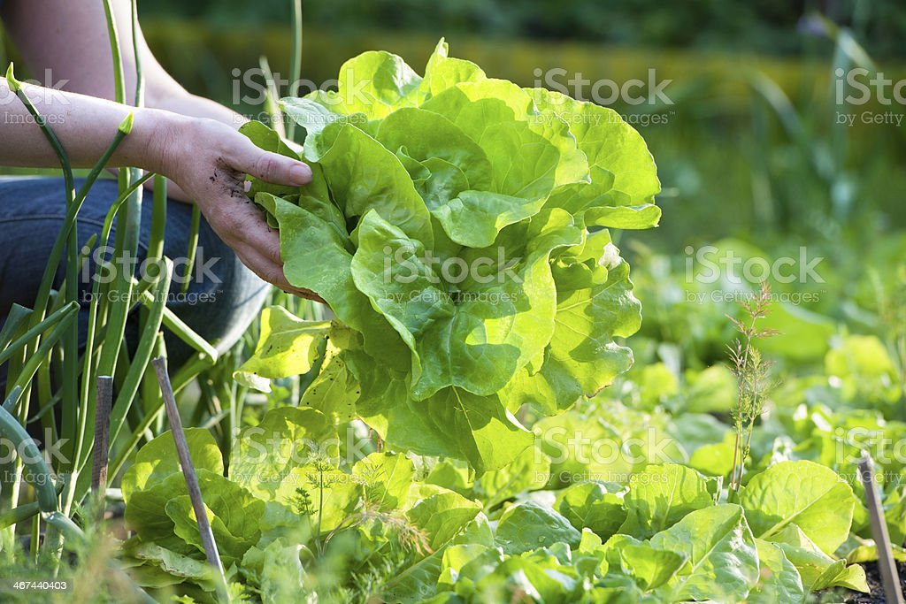 Woman picking fresh vegetables from garden stock photo