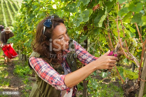 540524550 istock photo Woman picking grapes in vineyard 979064980