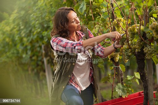 540524550 istock photo Woman picking grapes in vineyard 996734744