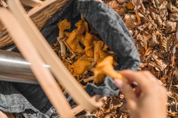 kvinna plocka svamp och dricka kaffe i skogen - höst plocka svamp bildbanksfoton och bilder
