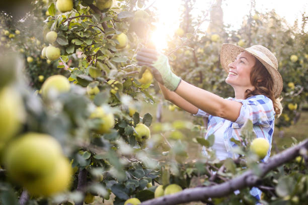 Woman picking quince stock photo