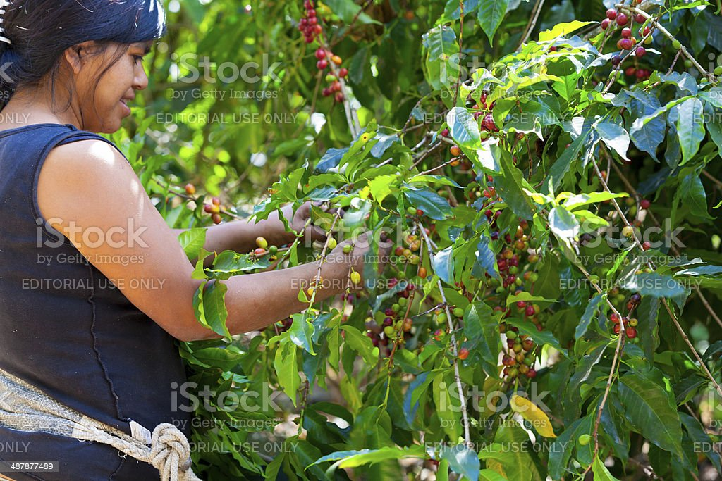 Woman picking ripe coffee berries foto