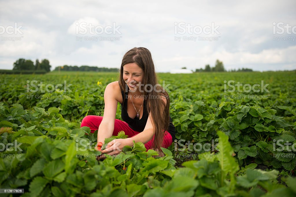 Woman picking strawberries in field stock photo