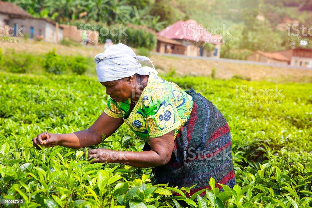 Woman Picking tea leaves in Rwanda stock photo