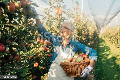 1056015258 istock photo Woman picking up apples at the plantation 1055940042