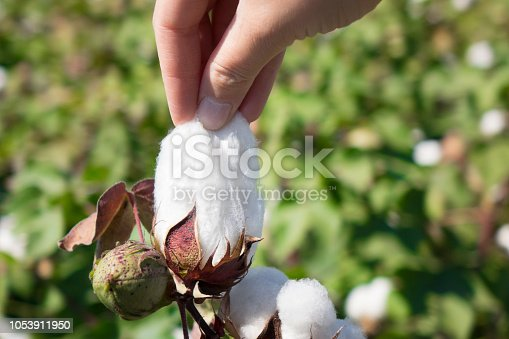 istock woman picking up cotton 1053911950