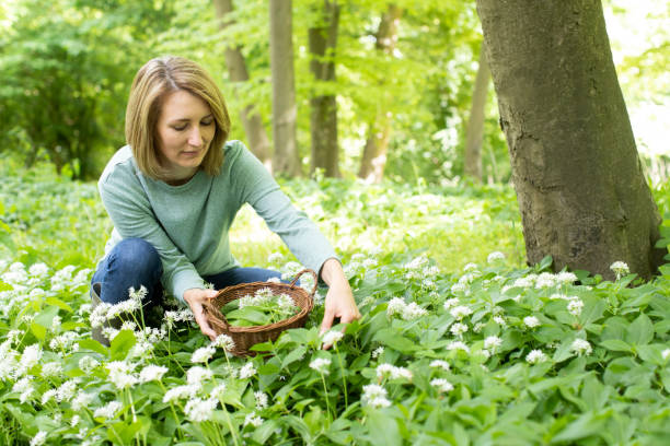 Woman Picking Wild Garlic In Woodland Putting Leaves In Basket Woman Picking Wild Garlic In Woodland Putting Leaves In Basket foraging stock pictures, royalty-free photos & images