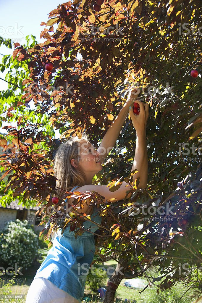 Woman picking wild plums outdoors stock photo
