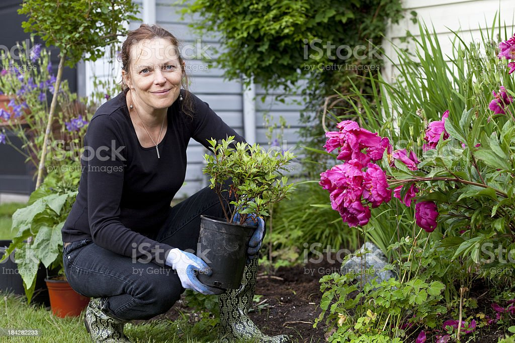 Woman planting an Azalea plant in her garden. stock photo