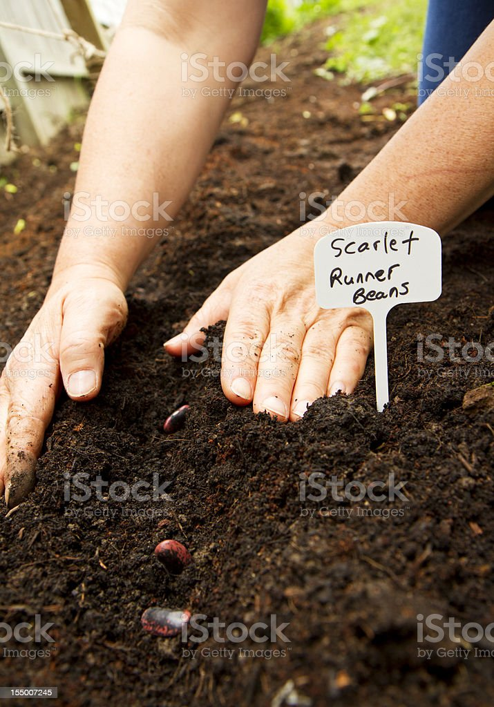 Woman Planting Bean Seeds royalty-free stock photo