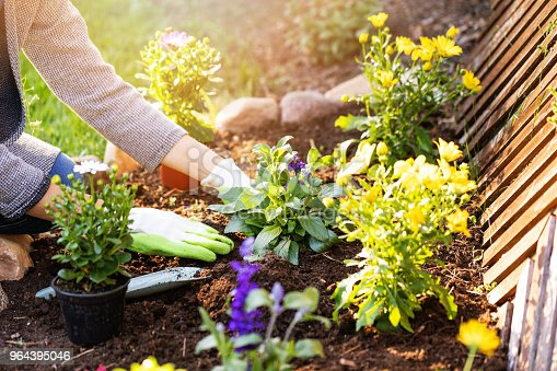 woman planting flowers in backyard garden flowerbed