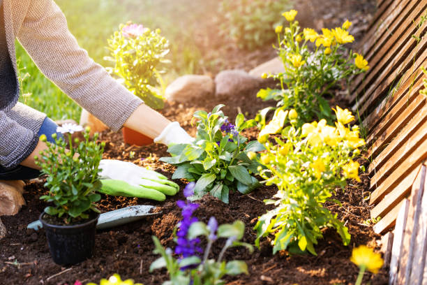 woman planting flowers in backyard garden flowerbed woman planting flowers in backyard garden flowerbed lawn stock pictures, royalty-free photos & images