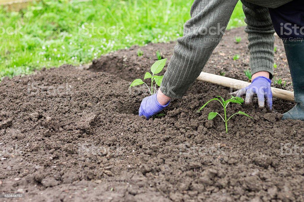 Frau Aussaat Pfeffer Setzling im Garten – Foto