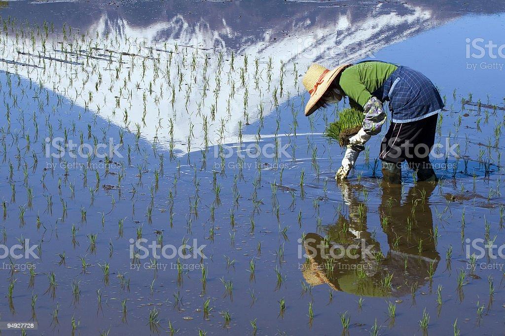 Woman Planting Rice royalty-free stock photo
