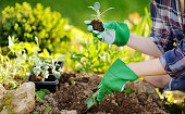 istock Woman planting seedlings in bed in the garden at summer sunny day 1092744050