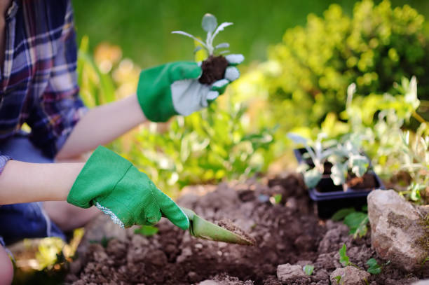 Woman planting seedlings in bed in the garden at summer sunny day stock photo