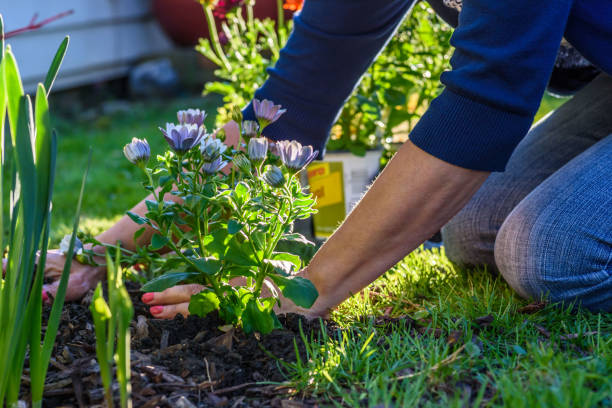 Woman planting spring flowers in backyard in sunlight Low angle view of woman's hands planting flowers in spring perennial stock pictures, royalty-free photos & images