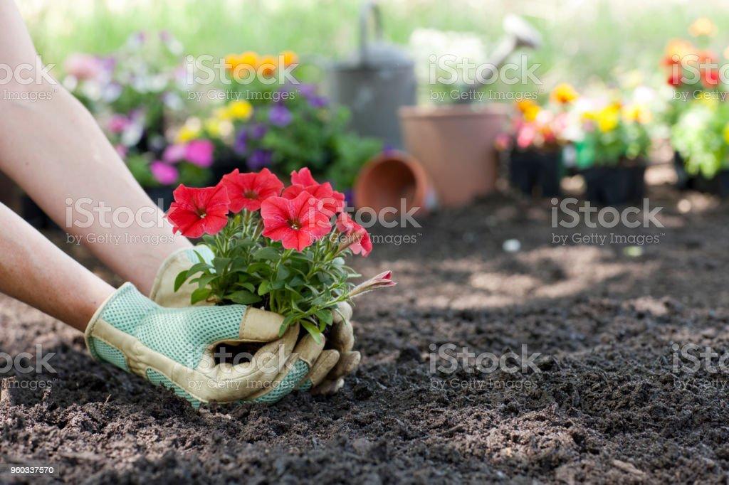 Frau pflanzt Petunia Frühlingsblumen in ihrem Garten – Foto