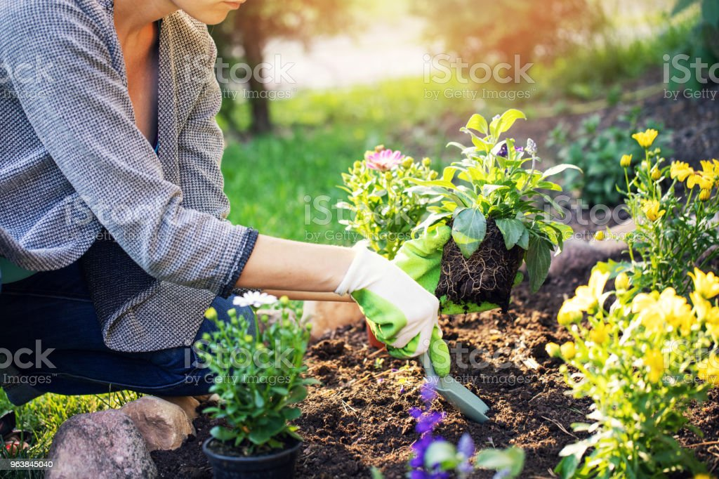 woman planting summer flowers in home garden bed - Royalty-free Activity Stock Photo