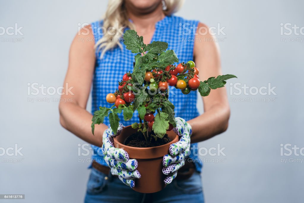 Woman planting vegetables for spring indoors stock photo
