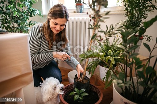 Woman planting while Maltese dog is besides her