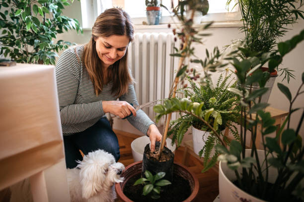 Woman planting while Maltese dog is besides her stock photo
