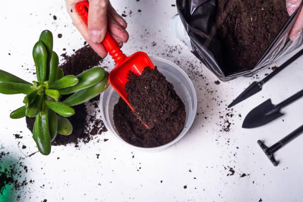 Mulher planta em um vaso de flores com nova terra Crassula Ovata - close-up, mãos em luvas e uma planta - foto de acervo