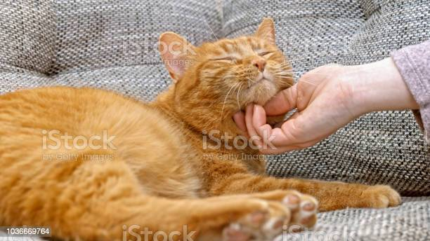 Woman playing with ginger cat picture id1036669764?b=1&k=6&m=1036669764&s=612x612&h=gu1svm9nngir3zcz50cvg6rxjik51xqd0ab6bevhquu=