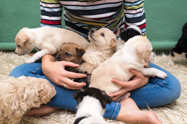woman playing with puppies - puppy stock pictures, royalty-free photos & images
