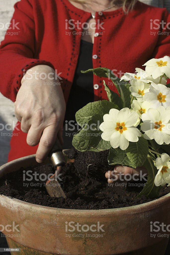 Woman potting up a primrose in the spring. royalty-free stock photo