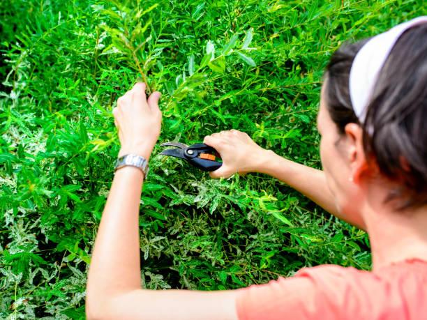 woman pruning a Japanese hakuro willow tree stock photo