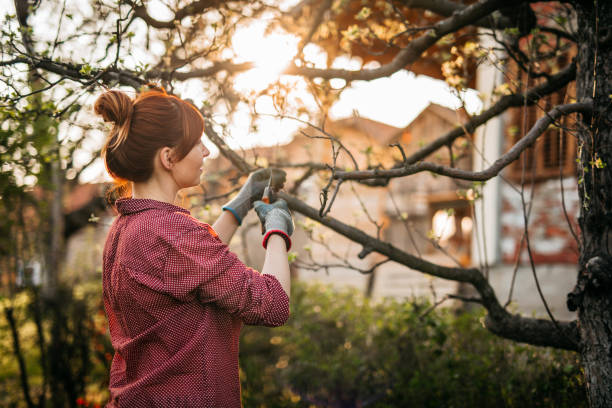 Woman Pruning Apple Trees stock photo
