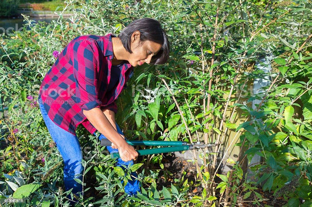 Woman pruning buddleja shrub with lopping shears stock photo