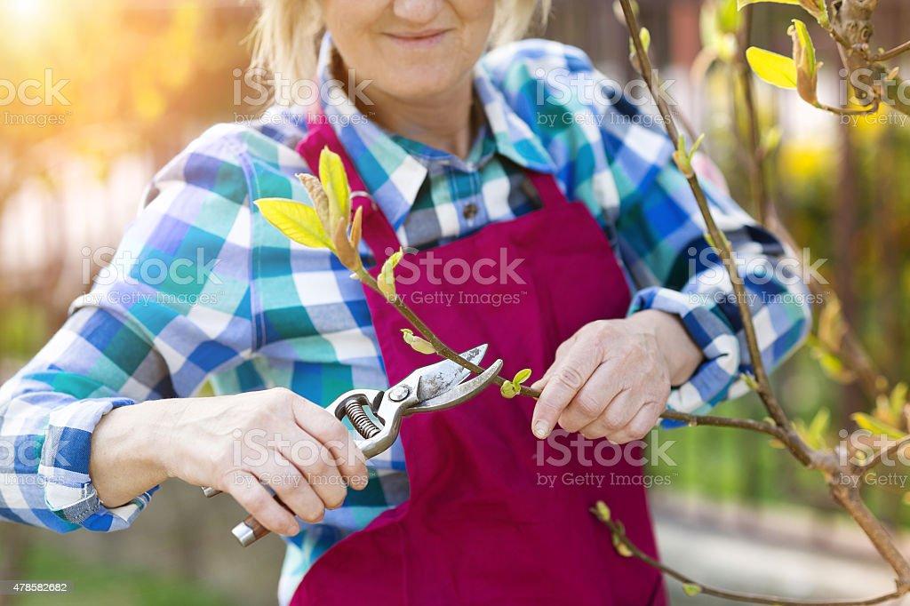 Woman pruning magnolia tree stock photo