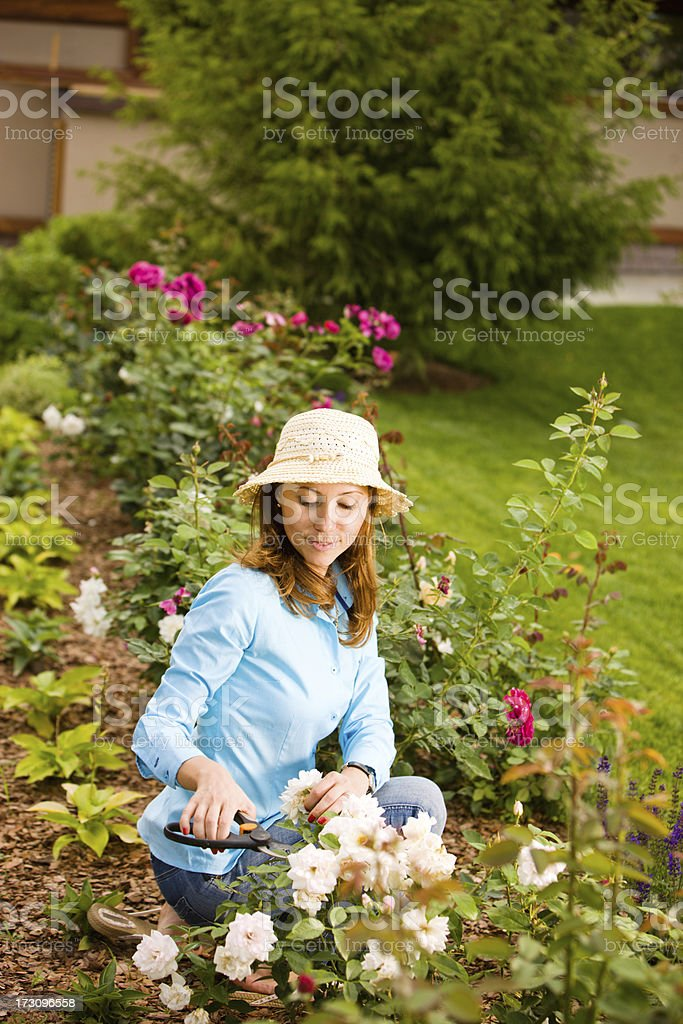 Woman pruning roses in garden stock photo