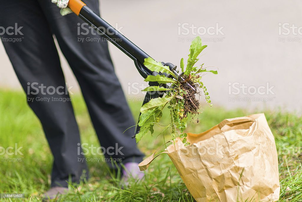 A woman pulling weeds and put it in a brown bag  stock photo