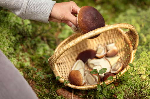 Woman putting a porcini in a basket, mossy forest background, boletus edulis