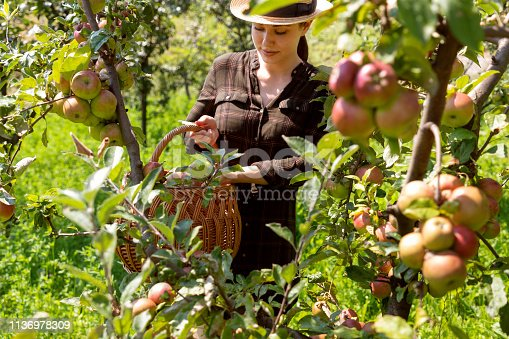 Young woman in the orchard putting apples in the wattle basket