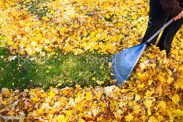 Woman Raking Fall Leaves Stock Photo - Download Image Now