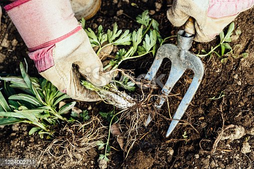 Unrecognizable woman removing a weed from her flowerbed.