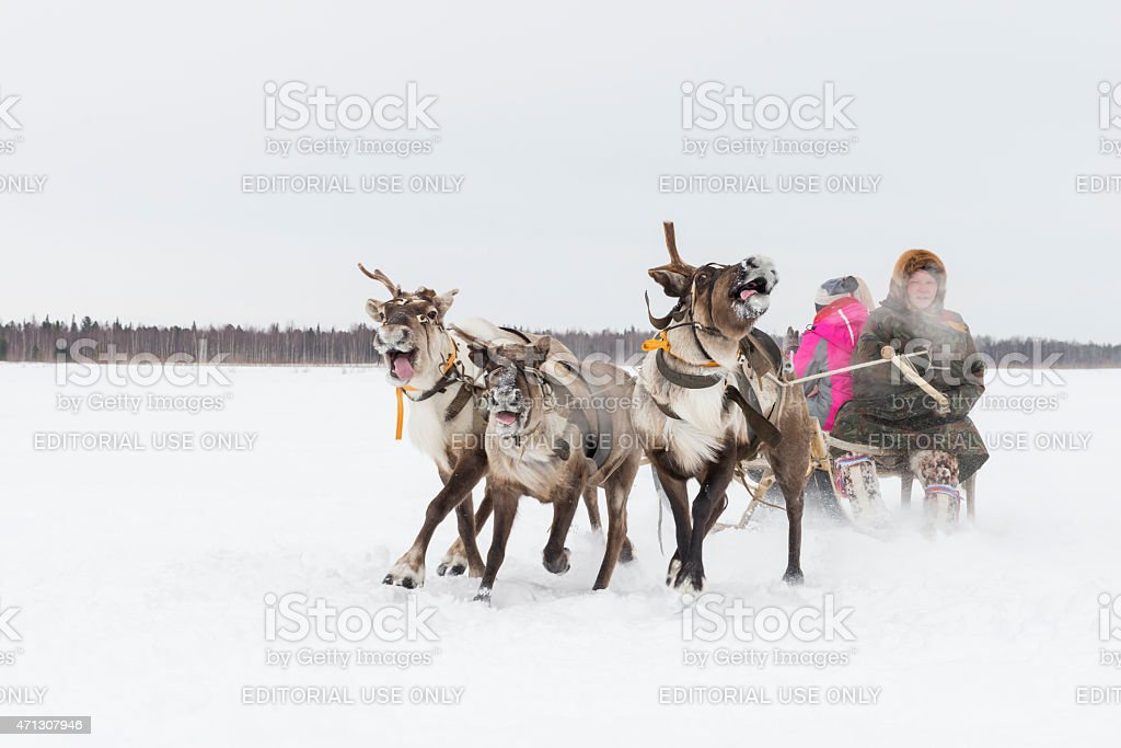 Woman rides in a sleigh with reindeer in Siberia stock photo