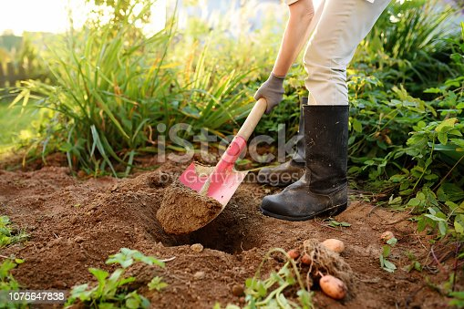 Woman shod in boots digs potatoes in her garden. Growing organic vegetables herself.