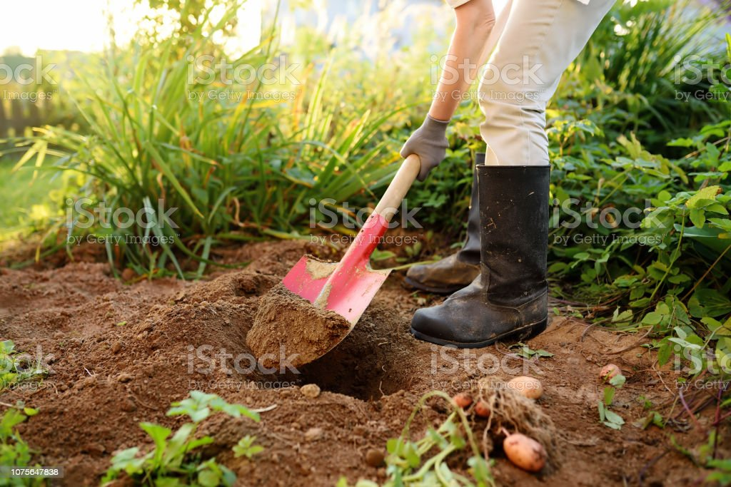 Woman shod in boots digs potatoes in her garden. stock photo