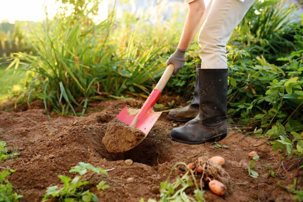 vrouw geschoeid in laarzen graaft aardappelen in haar tuin. - graven stockfoto's en -beelden