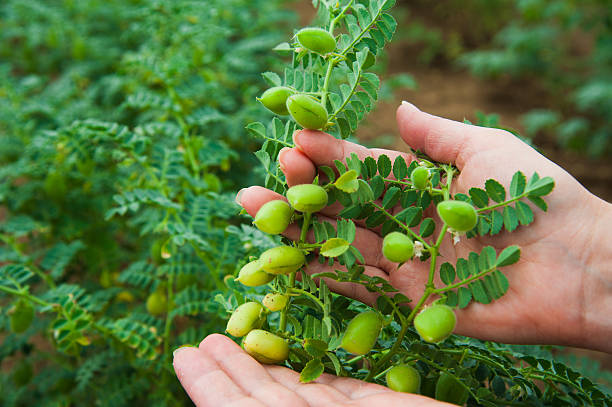 Woman showing chickpeas in close up Woman shows chickpeas in close up. Chickpea are growing on the field chick pea stock pictures, royalty-free photos & images