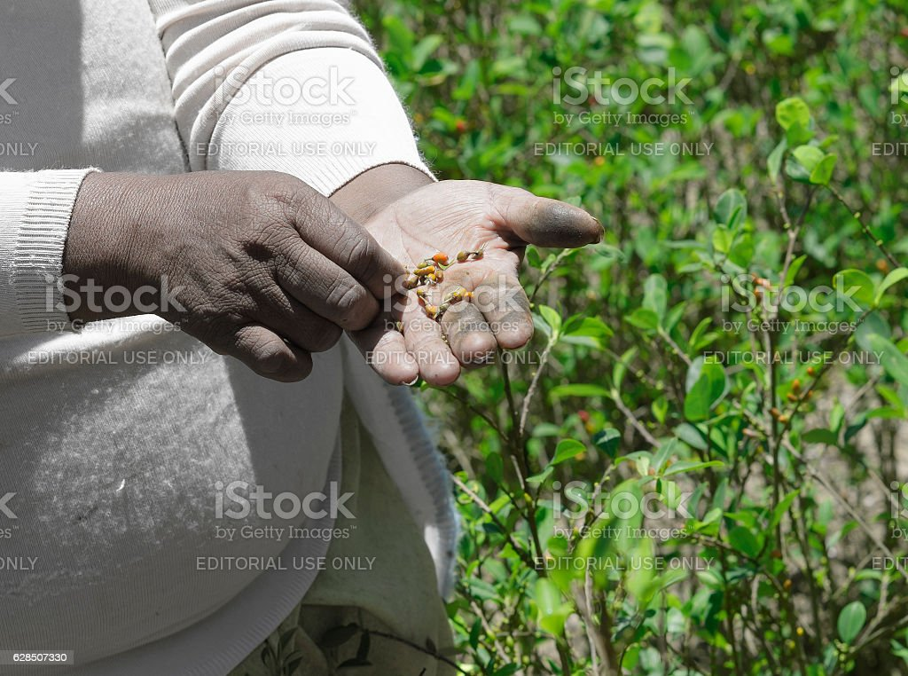 Woman showing Coca seeds during harvesting stock photo