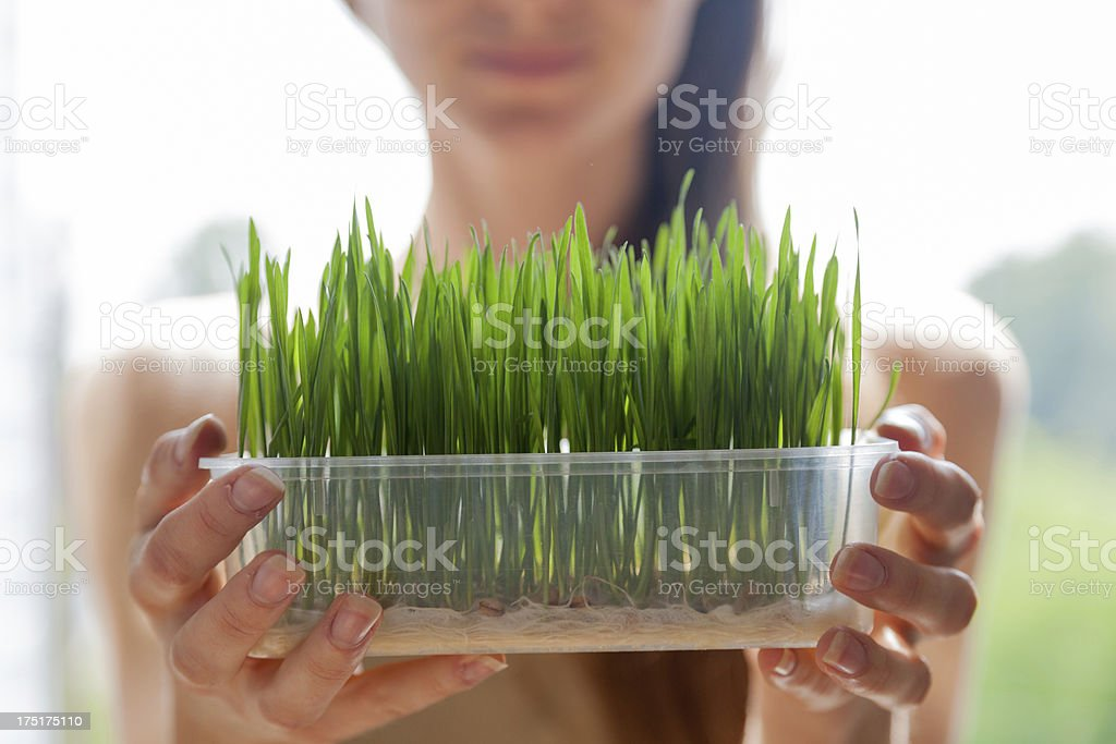 Woman showing fresh raw green wheat germ in plastic tray stock photo