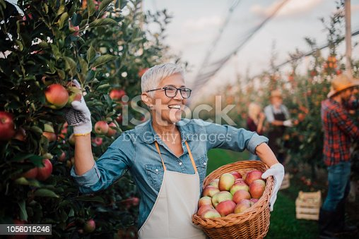 1056015258 istock photo Woman smiling when picking up apples at the farm 1056015246