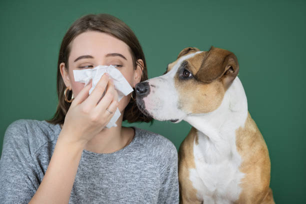 A woman sneezes and blows her nose into a napkin and looks at her dog. stock photo
